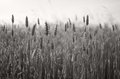 Lovely wheat field black and white picture of with blurred background Royalty Free Stock Photo