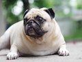A lovely white pug fat cute face head shot close up lying on the concrete floor outdoor making sad face under natural sunlight and Stock Image