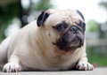 A lovely white pug fat cute face head shot close up lying on the concrete floor outdoor making sad face under natural sunlight and Royalty Free Stock Photography