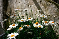 Lovely white tiny flower bunch in italy these are of camomile europe clutching with yellow and it makes a perfect Stock Image