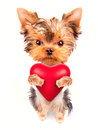 Lover valentine puppy dog with a red heart cute isolated on white background Royalty Free Stock Photo