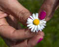 He loves me he loves me not hand woman picking a pedal from a daisy Royalty Free Stock Images