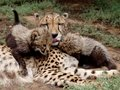 Loving cheetah mother with cubs Royalty Free Stock Photo