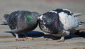 Loving couple of birds. Pigeons. Royalty Free Stock Photo