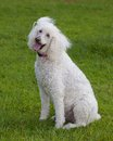 Loving dog white standard poodle looking at the camera with love Stock Image