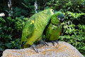 Loving domestic parrots kissing each other Royalty Free Stock Photo