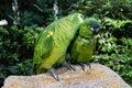 Loving Domestic Parrots Kissin...