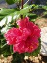 Milující ibišek rostlina