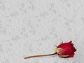 In loving memory bacground preserved rose remembrance concept grey background ideal memoriam etc Royalty Free Stock Image