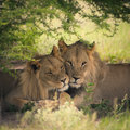 Loving pair of lion and lioness in botswana with illustration treatment Stock Images