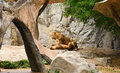 Loving pair of lion and lioness in zoo two lions chiang mai thailand Royalty Free Stock Photo