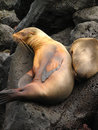 Loving sea lion Royalty Free Stock Image