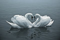 Loving swans the couple of with their necks form a heart Royalty Free Stock Image