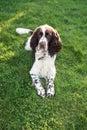 Lovly pet beautiful english springer spaniel hunter dog lie after walk on the summer green grass