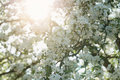 Low angle shot of white apple blossom tree in sunny day Royalty Free Stock Photo