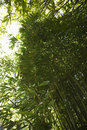Low angle view of bamboo in Maui, Hawaii. Stock Image
