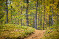 Low depth of field view of a footpath with colored larch forrest in the background autumn Stock Image
