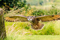 Low flying eagle owl over a field Stock Image