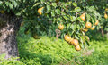 Low hanging fruit in an orchard and easy to pick conference pears at a tree Royalty Free Stock Photo