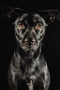 Low key studio portrait of a black labrador mix do Stock Photo