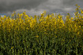 Low level view of rape seed crop Royalty Free Stock Photo