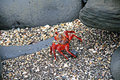 A low perspective of a red crab on the beach among rocks this picture was taken in ecuador in summer Royalty Free Stock Photography