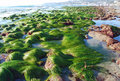 Low tide showing  surf grass (Phyllospadix sp.)  at Cleo Street, Laguna Beach, California Royalty Free Stock Photo