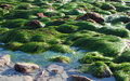 Low tide showing  surf grass (Phyllospadix sp.) along coastline in  Laguna Beach, California Royalty Free Stock Photo