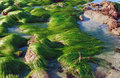 Low tide showing  surf grass (Phyllospadix sp.) along coastline in  Laguna Beach, California. Royalty Free Stock Photo