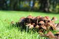 Low view of fungi in grass a camera delicate brown growing together the green during the fall or autumn Stock Image