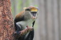 Lowe s guenon the on the tree Stock Photos