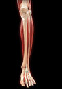 Lower legs muscles anatomy illustration of d render Royalty Free Stock Image