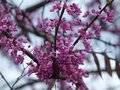Redbuds Bloom at White Rock Dam and Spillways Royalty Free Stock Photo