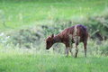 Lowland anoa in the grass Stock Photos