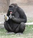 Lowland gorilla Stock Image