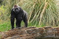 Lowland gorilla the western stepping on to the small rock wall Royalty Free Stock Image