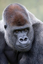 Lowland Silverback Gorilla Stock Photos
