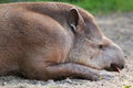 Lowland tapir detail Royalty Free Stock Images