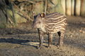 Lowland tapir the juvenile of Royalty Free Stock Images