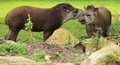 Lowland tapirs the couple of adult Stock Image