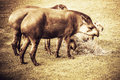 Lowland tapirs eating hay old look photo Royalty Free Stock Images