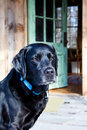 Loyal Black Labrador Dog Royalty Free Stock Photos