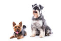 Loyal family dogs two adorable alert a yorkshire terrier and a schnauzer sitting together looking at the camera on white with Stock Photography