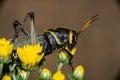 Lubber grasshopper Royalty Free Stock Photo