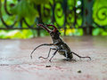 Lucanus cervus Royalty Free Stock Photo