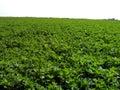 Lucerne field Stock Photos