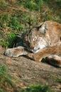 Luchs, der weg von der Jagd schläft Stockbilder