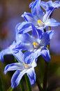 Lucile s glory of the snow chionodoxa luciliae wonderful blue spring flowers closeup Stock Images