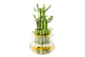 A lucky bamboo plant Stock Photography