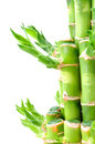 A lucky bamboo plant Royalty Free Stock Photography